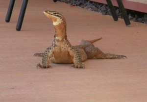 clipped lizard th