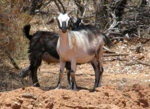 goats th